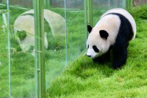 国庆小长假来栾川看熊猫 别忘了它还有小名